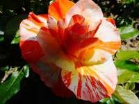 2013-06-erna-baeuerle-rosenbluete