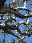 2010-02-gerda-diemer-koecherbaum-namibia