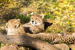 5-Zoo-Landau